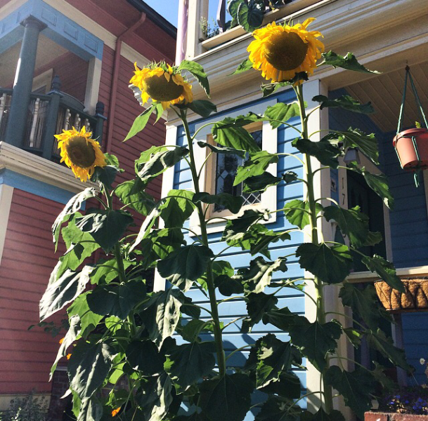 A tiny home with giant Sunflower stalks. I want.